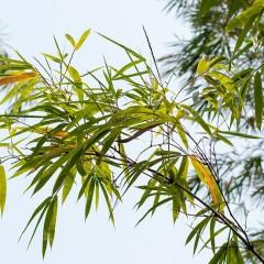 des bambous comme brise vue